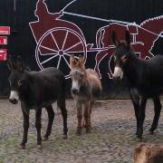 Bild dreier Esel