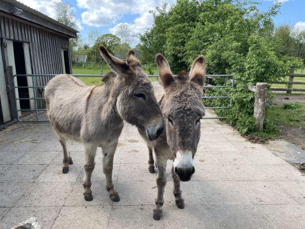Zwei Esel auf der Eselkoppel Schlei